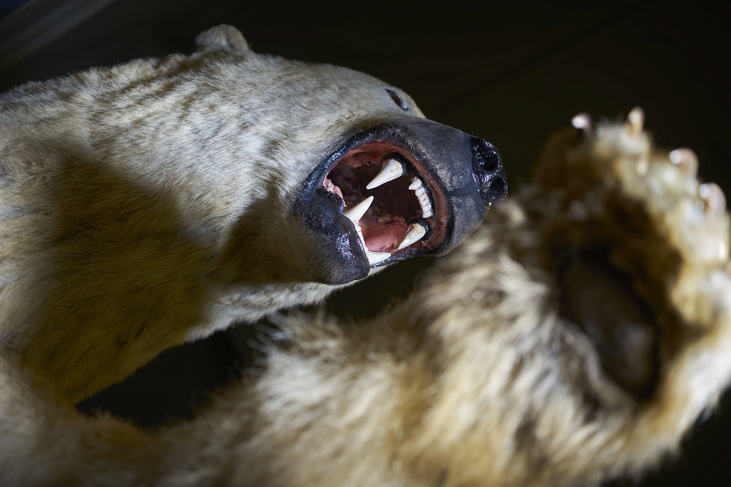 Discover Kendal Museum's antique taxidermy collection
